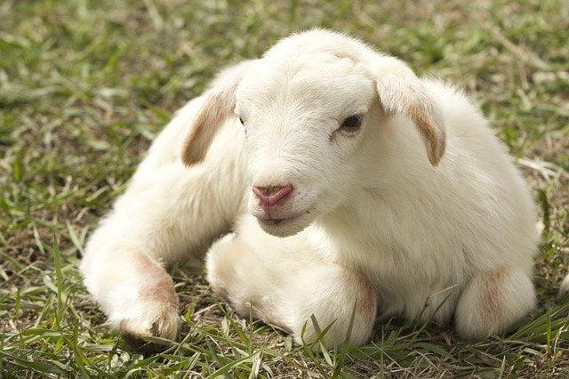naves-de-ovejas