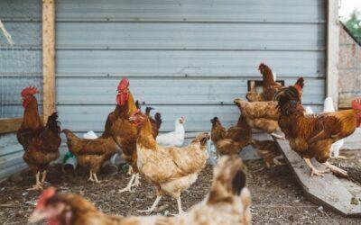 Construcción de granjas avícolas