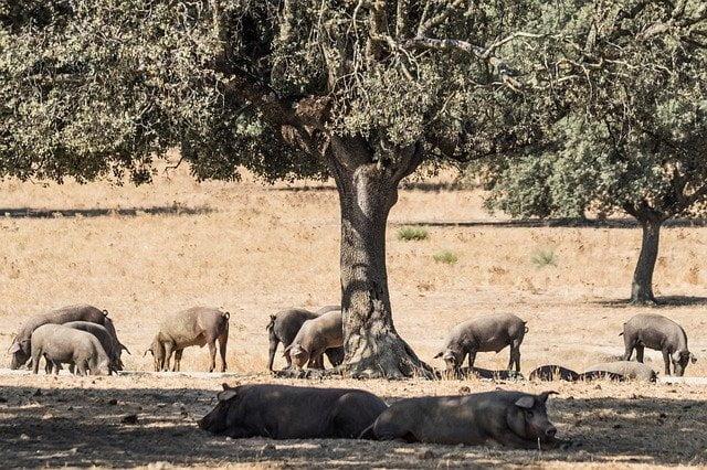 construccion-granja-porcina